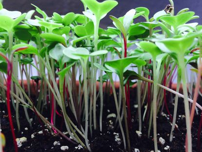 Little seeds and how to plant them ~ Microgreens and Salad Greens