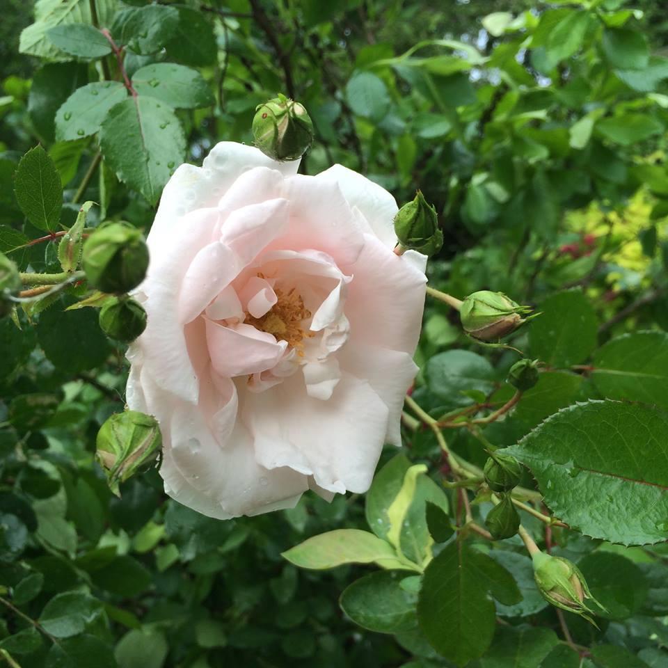 roses by garden studio