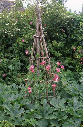 Sweet Peas growing up a handmade support from branches and twigs