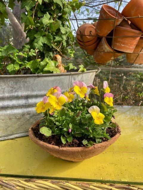 pretty vintage terracotta pot full of pansies