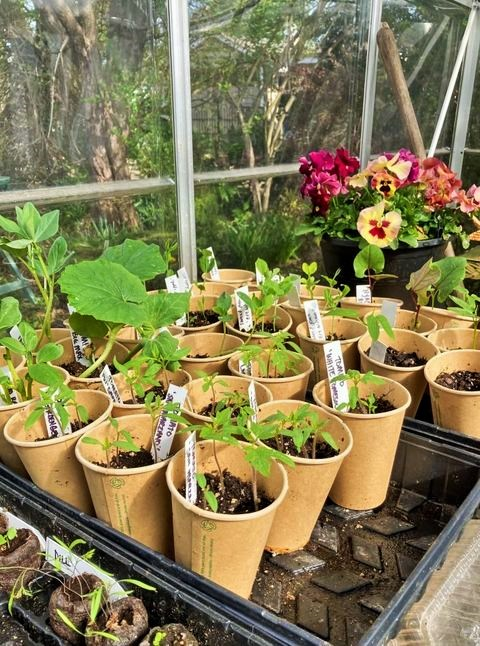 A lot of little seedlings sprouting...sweetpeas, zinnias, snapdragons, tomotoes, beans, pumpkins, squash