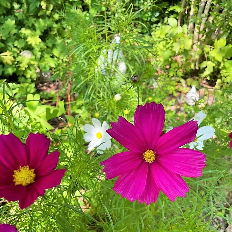 Cosmos in the French Country Garden