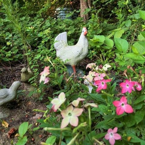 Free range chickens placed in the garden